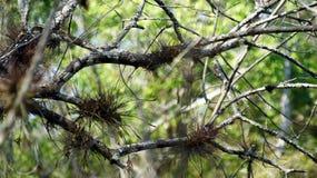 Bromelia's op de boomtakken van Cyprus Royalty-vrije Stock Afbeeldingen