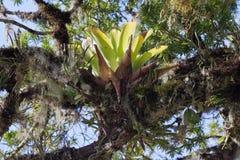 Bromelia on a Tree Royalty Free Stock Photos