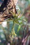 Bromelia verde florida Fotos de archivo