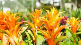 Bromeliablomma, Guzmania Royaltyfri Bild