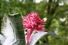 Bromeliacea di fioritura Immagine Stock