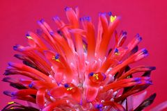 Bromeliacea, tillandsia Stricta Fotografia Stock Libera da Diritti