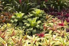 Bromeliaceae del giardino Fotografie Stock Libere da Diritti