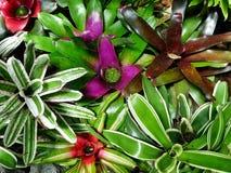 Bromeliaceae impigliate Fotografia Stock