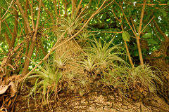 Bromeliaceae nei Caraibi Immagini Stock