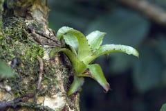 Bromeliad在它的自然生态环境 图库摄影