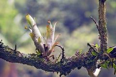 Bromeliad在它的自然生态环境 库存照片