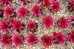 Bromeliad在石渣地板上的装饰植物 免版税库存照片