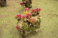 Bromeliad植物在公园 库存照片