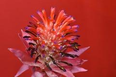Bromeliad,铁兰Stricta 库存图片