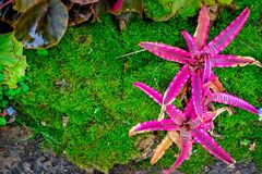 Bromeliad στον κήπο Στο υπόβαθρο βρύου Στοκ Φωτογραφίες