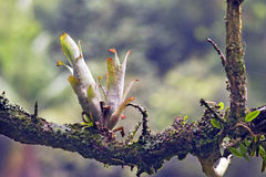 Bromeliad στο φυσικό βιότοπό του Στοκ Εικόνες