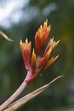 Bromeliad χαρακτηριστικό Bromeliaceae των neotropical περιοχών Στοκ φωτογραφία με δικαίωμα ελεύθερης χρήσης