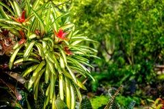 Bromeliad в саде Стоковая Фотография