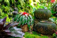 Bromeliad в саде Стоковые Изображения