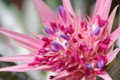 Bromeliad, тропический красочный цветок стоковое фото rf