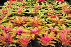 Bromeliad Immagini Stock Libere da Diritti