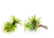 Bromeliad树 免版税库存照片