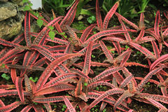 Bromeliad Стоковая Фотография