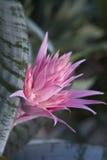 Серебряное bromeliad вазы Стоковые Изображения RF