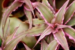 Bromeliad στοκ εικόνα