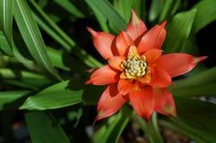 Bromeliad alaranjado Imagem de Stock