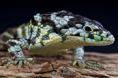 Bromeliad alligator lizard Stock Photos