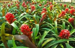 Bromeliad Ananas Comosus, ananas Arkivfoto