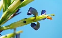 Bromeliad Billbergia 'Borracho' 免版税库存照片