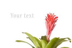 Bromeliad blomma Arkivfoton