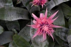 Bromeliad blomma royaltyfri fotografi