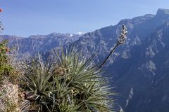 Bromeliad blooming on the slopes,Colca Canyon, Peru Royalty Free Stock Photography