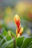 Bromeliad Blume Stockfotografie