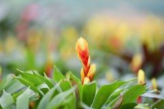 Bromeliad Blume Stockfotos