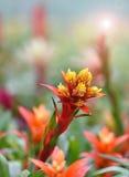 Bromeliad Blume Lizenzfreies Stockbild