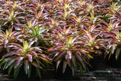 Bromeliad Royalty Free Stock Image