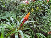 Bromeliad bush with red flower and orange in the shade. Tropical garden with bromeliá bush with red and orange flower stock photography