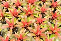 Bromeliad Royalty Free Stock Photo