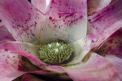Bromeliad. Close up of large mature Neoregelia 'Exotica Pink Panther' in bloom Stock Images