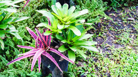 Bromeliad , Cryptanthus decoration in the  garden Stock Photo