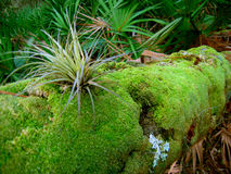 Bromeliad de la Floride Photo libre de droits