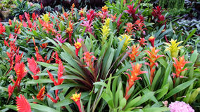 Bromeliad. Decorative plants in Thailand stock photography