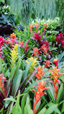 Bromeliad. Decorative plants in Thailand Royalty Free Stock Photos