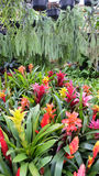 Bromeliad. Decorative plants in Thailand Stock Image