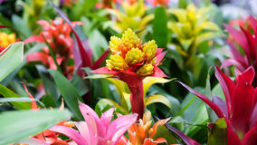 Bromeliad. Decorative plants in Thailand Royalty Free Stock Photography