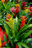 Bromeliad. Decorative plants in Thailand Royalty Free Stock Images
