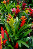 Bromeliad. Decorative plants in Thailand Stock Images