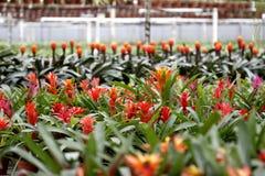 Bromeliad in der Blüte Lizenzfreie Stockbilder