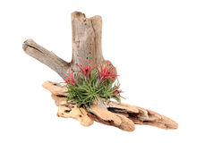 Bromeliad e Driftwood isolados no branco Fotos de Stock Royalty Free