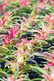 Bromeliad. Stock Photo
